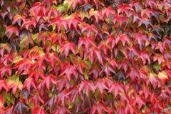Kruipende installatie met rode bladeren Stock Fotografie