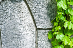 Kruipende Wijnstok Stock Afbeelding