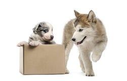 Kruising en malamute puppy met een doos op wit wordt geïsoleerd dat Royalty-vrije Stock Foto's