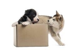 Kruising en malamute puppy met een doos op wit wordt geïsoleerd dat Stock Foto's