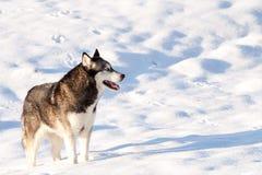 Kruising Huskey Malamut op een gebied van sneeuw Royalty-vrije Stock Fotografie