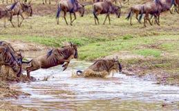 kruising kenia Nationaal Park Meest wildebeest en zebrascr stock afbeeldingen