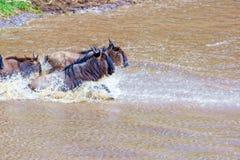 kruising kenia Nationaal Park Meest wildebeest en zebrascr stock foto