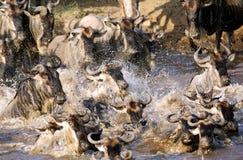 Kruising van wildebeests langs Mara rivier Royalty-vrije Stock Fotografie