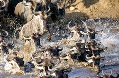 Kruising van wildebeests in Mara rivier Stock Fotografie