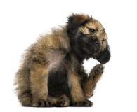 Kruisingspuppy die krassen (2 maanden oud) stock afbeeldingen
