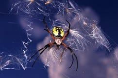 Kruisspin (aurantia Argiope) stock afbeelding