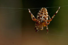 Kruisspin, diadematus Araneus Royalty-vrije Stock Afbeeldingen