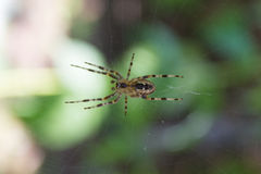 Kruisspin op zijn Web Stock Foto
