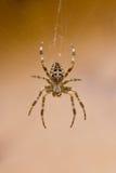 Kruisspin in spinneweb in daling Royalty-vrije Stock Fotografie