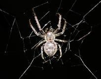 Kruisspin in zijn Web Stock Foto