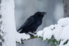 Kruk, czarny ptasi obsiadanie na śnieżnym drzewie podczas zimy, natury siedlisko, Szwecja obrazy royalty free