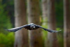 Kruk w locie, Szwecja Ptak w zielonym lasowym siedlisku Przyrody scena od natury Czarny ptasi kruk w komarnicie, zwierzęcy zachow zdjęcie stock