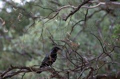 Kruk, Wilpena funt, Flinders pasma, Południowy Australia, Australia zdjęcia royalty free
