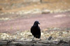 Kruk, Wilpena funt, Flinders pasma, Południowy Australia, Australia zdjęcie royalty free