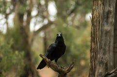 Kruk, Wilpena funt, Flinders pasma, Południowy Australia, Australia zdjęcie stock