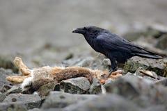 Kruk z nieżywym czerwonym lisem, siedzi na kamieniu Ptasi zachowanie w naturze Skalisty siedlisko z czarnym krukiem Krwisty posił Fotografia Royalty Free
