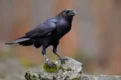 Kruk z otwartym belfra obsiadaniem na kamieniu Łosia amerykańskiego kamień z czarnym ptakiem Czarny ptak w natury siedlisku Kruk  zdjęcie royalty free