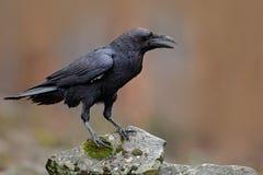 Kruk z otwartym belfra obsiadaniem na kamieniu Łosia amerykańskiego kamień z czarnym ptakiem Czarny ptak w natury siedlisku Kruk  fotografia stock