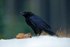 Kruk z zajęczym ścierwem podczas śnieżnej burzy Silny wiatr z śniegiem podczas zimy Kruk, czarny ptasi obsiadanie na śnieżnym drz Fotografia Royalty Free