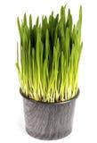 Kruka av grönt gräs royaltyfri foto