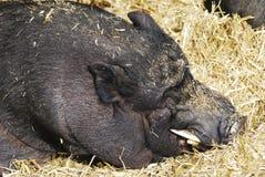 Kruka-buktad Pig Fotografering för Bildbyråer