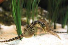 Kruka-buktad seahorse Royaltyfri Foto