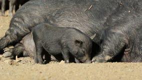 Kruka-buktade svin lager videofilmer