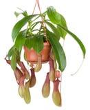 kruka för blommablommanepenthes Arkivbilder