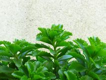 Kruka guld- krypa Sedum Live Perennial Plant Groundcover med gula blommor med grön lövverk royaltyfri bild