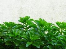Kruka guld- krypa Sedum Live Perennial Plant Groundcover med gula blommor med grön lövverk royaltyfri fotografi