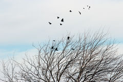 Kruka morwowy drzewo Zdjęcie Stock