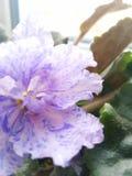 Krukan blommar härligt Fotografering för Bildbyråer