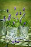Krukor av lavendel Royaltyfria Bilder