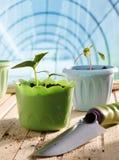 Krukor av plantor i växthus Royaltyfria Bilder