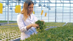 Krukor med fullvuxen grönsallat kontrolleras av en dam i en drivhus Sunt produktproduktionbegrepp arkivfilmer