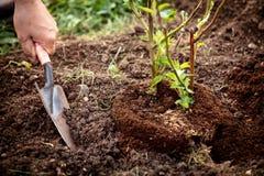 Krukväxten planterar in i trädgården, man med skyffeln och jord, björnbärbuske royaltyfri bild