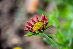 Krullade röda kronblad Bokeh som når solen royaltyfria foton