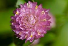 Krullande rosa färgblomma Royaltyfri Fotografi