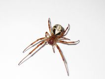 Krullande spindel för Leaf fotografering för bildbyråer