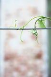 Krullande vinrankagrå färger Arkivfoto