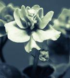 Krullend de fotoeffect van bloemviooltjes Stock Afbeelding