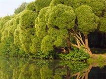Krullende bomen Stock Afbeelding