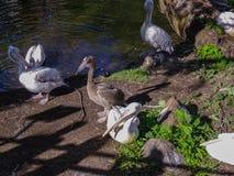 Krullende crispus die van pelikanenpelecanus op de kust van de vijver rusten stock afbeelding