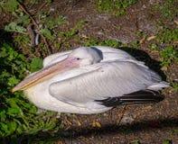 Krullende crispus van pelikaanpelecanus bepaalt op de kust van de vijver stock foto