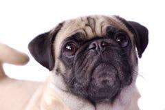 Krullende de steel verwijderde van pug hond Stock Afbeelding