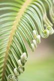 Krullende knoppen van Japanse sagopalm Stock Afbeelding