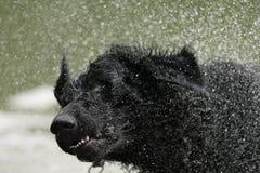 Krullende met een laag bedekte retrieverhond Royalty-vrije Stock Afbeelding