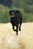 Krullende met een laag bedekte retrieverhond Royalty-vrije Stock Foto's
