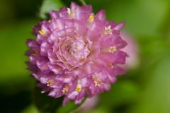 Krullende roze bloem Royalty-vrije Stock Fotografie